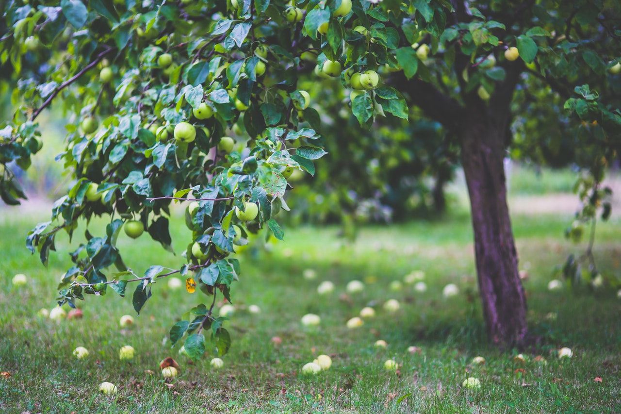 apple-apple-tree-apples-6035